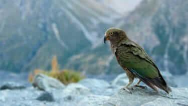 ニュージーランドの飛べない鳥|ウェカ・カカポなど