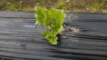 レタスの育て方|苗の徒長を防ぐ方法と種類や収穫の時間【家庭菜園】