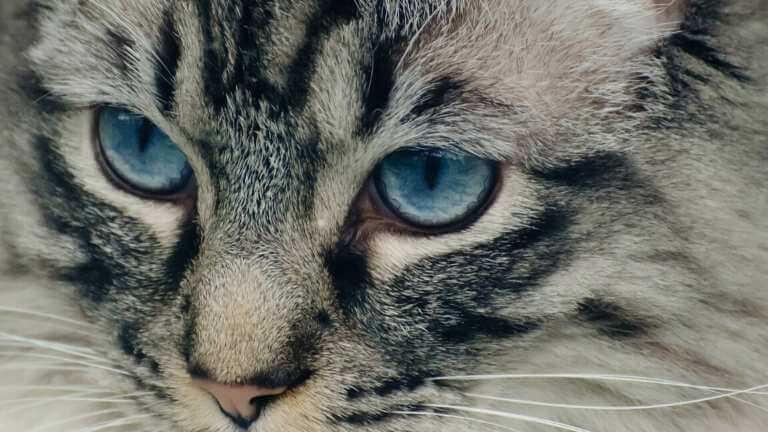 猫 目の病気 瞬膜