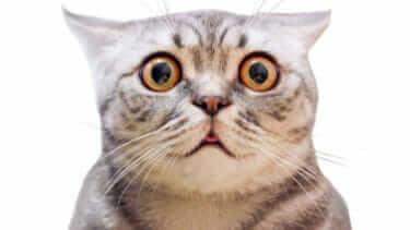 猫が口を開けるのはストレス?フレーメン反応?病気かも