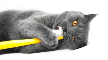 猫の歯のトラブルを軽く見ないで!歯磨きのコツ