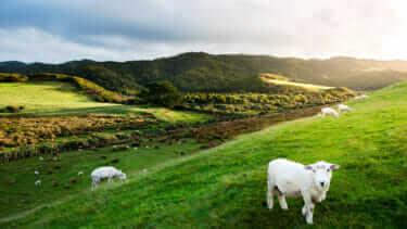 ニュージーランドの羊の数はどのくらい?種類は?