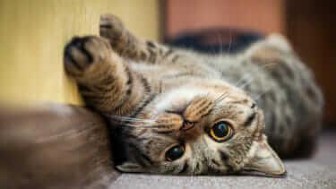 猫はなぜ夜鳴きをするの?理由と解決方法をご紹介