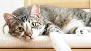 人気の高い猫の種類は?上位の種類をご紹介!