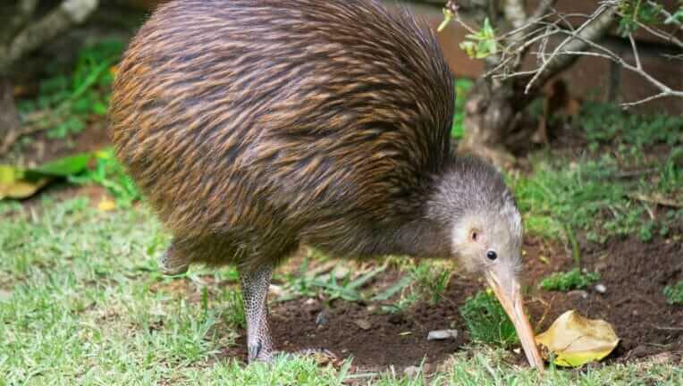 ニュージーランド 国鳥