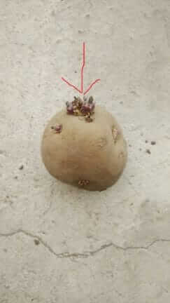 ジャガイモの種 頂芽部