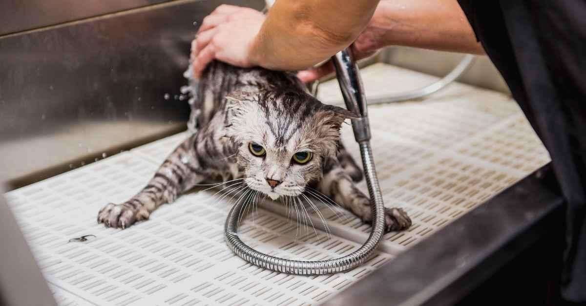 猫をシャンプーで フワフワにする (1)