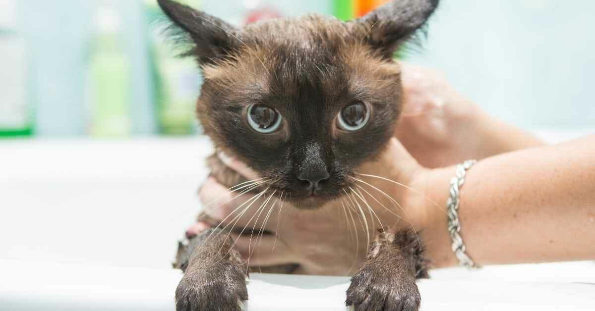 猫をシャンプーで フワフワにする (2)