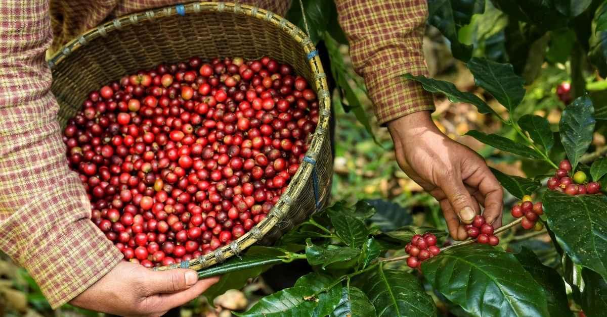 グアテマラコーヒーの特徴 (3)